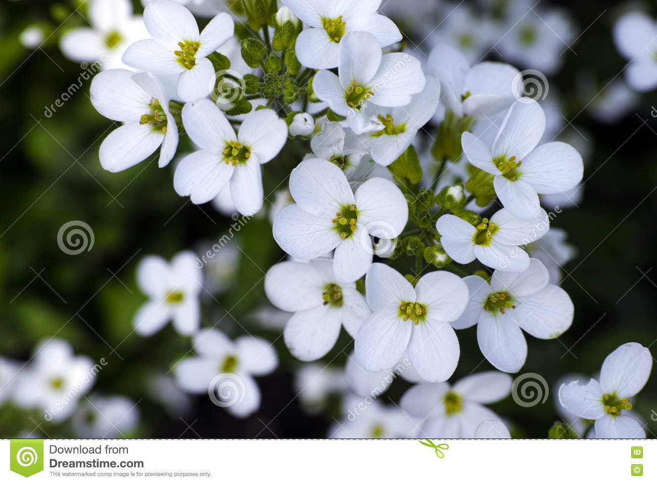 White Forget Me Not Flowers Stock Photo Image Of Forget Blossom