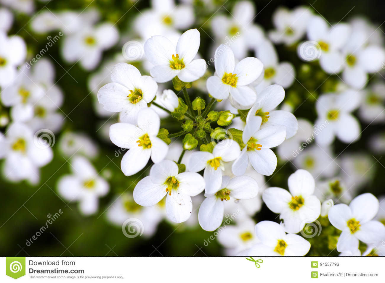 White Forget Me Not Flowers Stock Photo Image Of Forget Botany