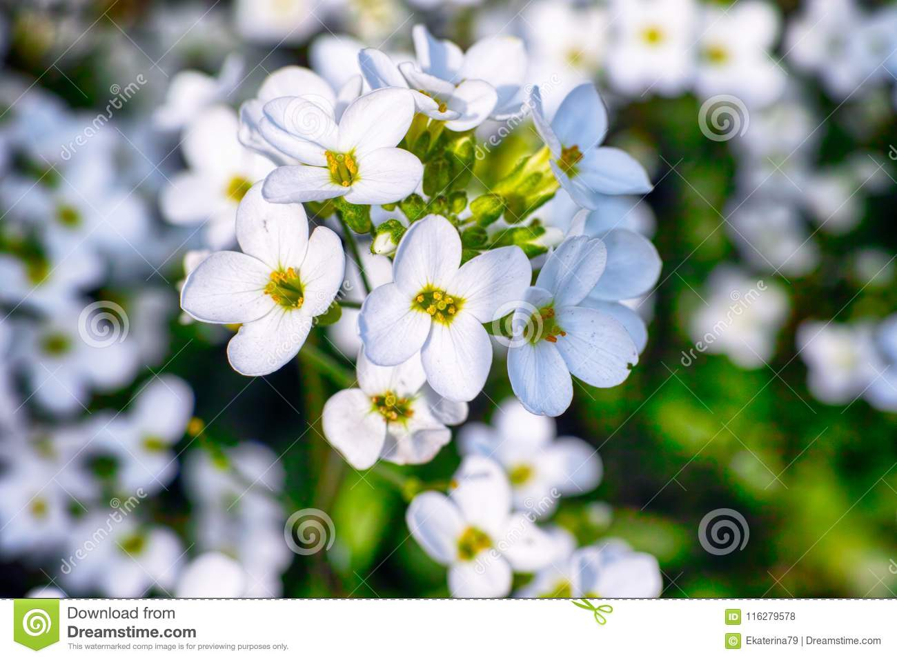 White Forget Me Not Flowers In The Garden Stock Photo Image Of