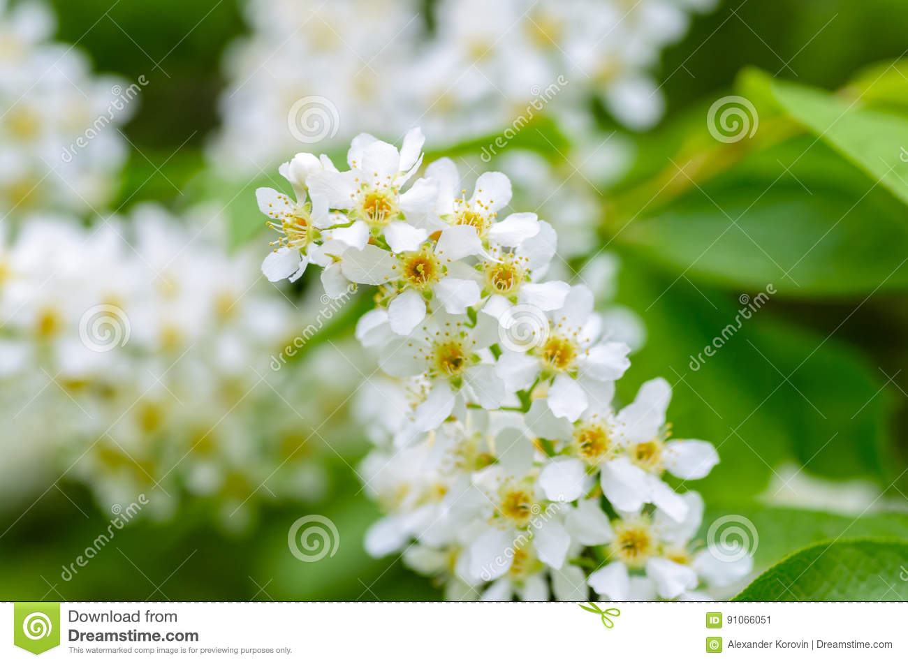 White Fragrant Flowers Of The Bird Cherry Tree Stock Image Image