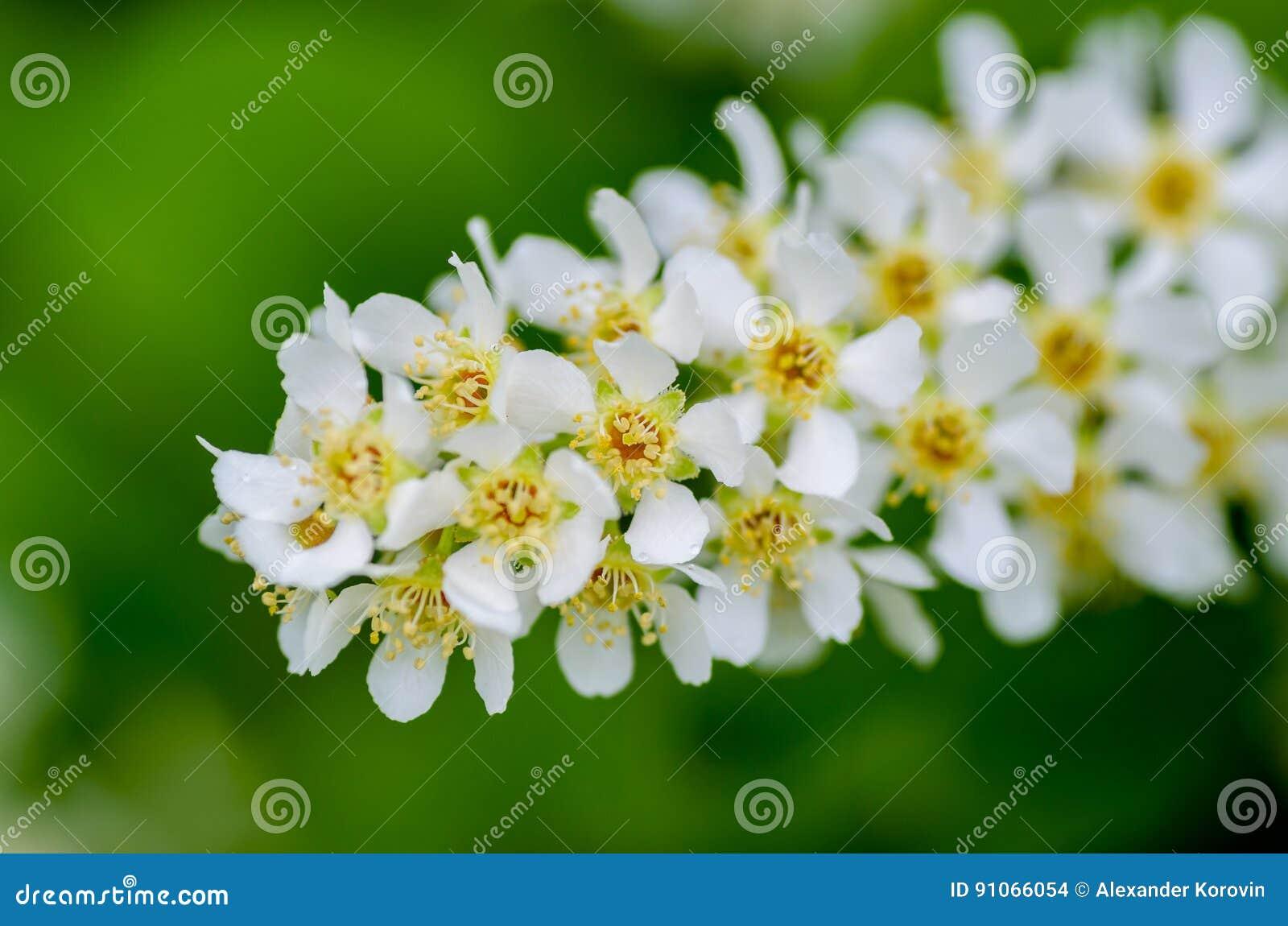 White Fragrant Flowers Of The Bird Cherry Tree Stock Photo Image