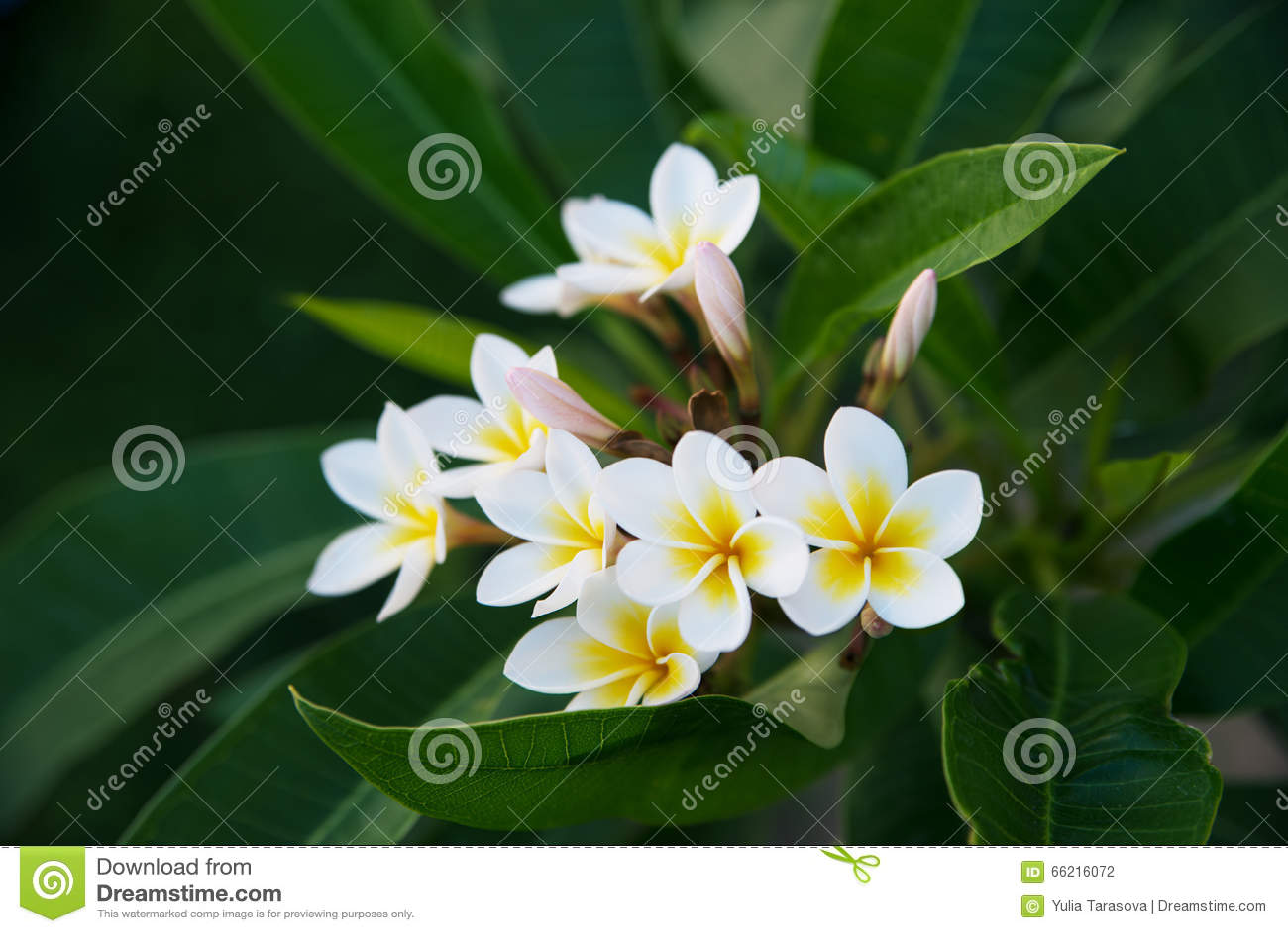 White Frangipani Tropical Flower Plumeria Flower Blooming On Tree