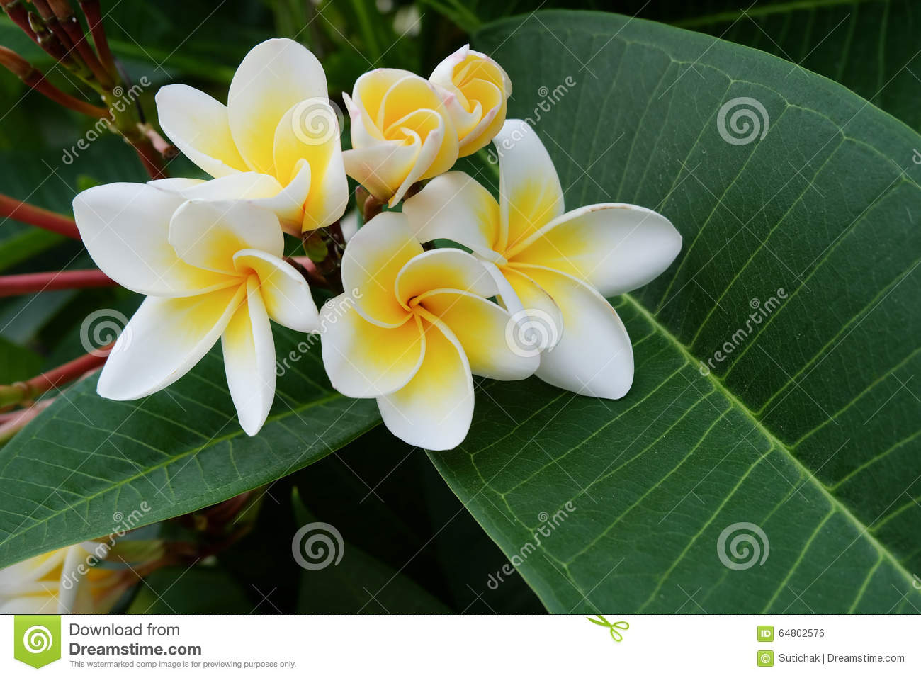 White Frangipani Tropical Flower Plumeria Flower Fresh Blooming