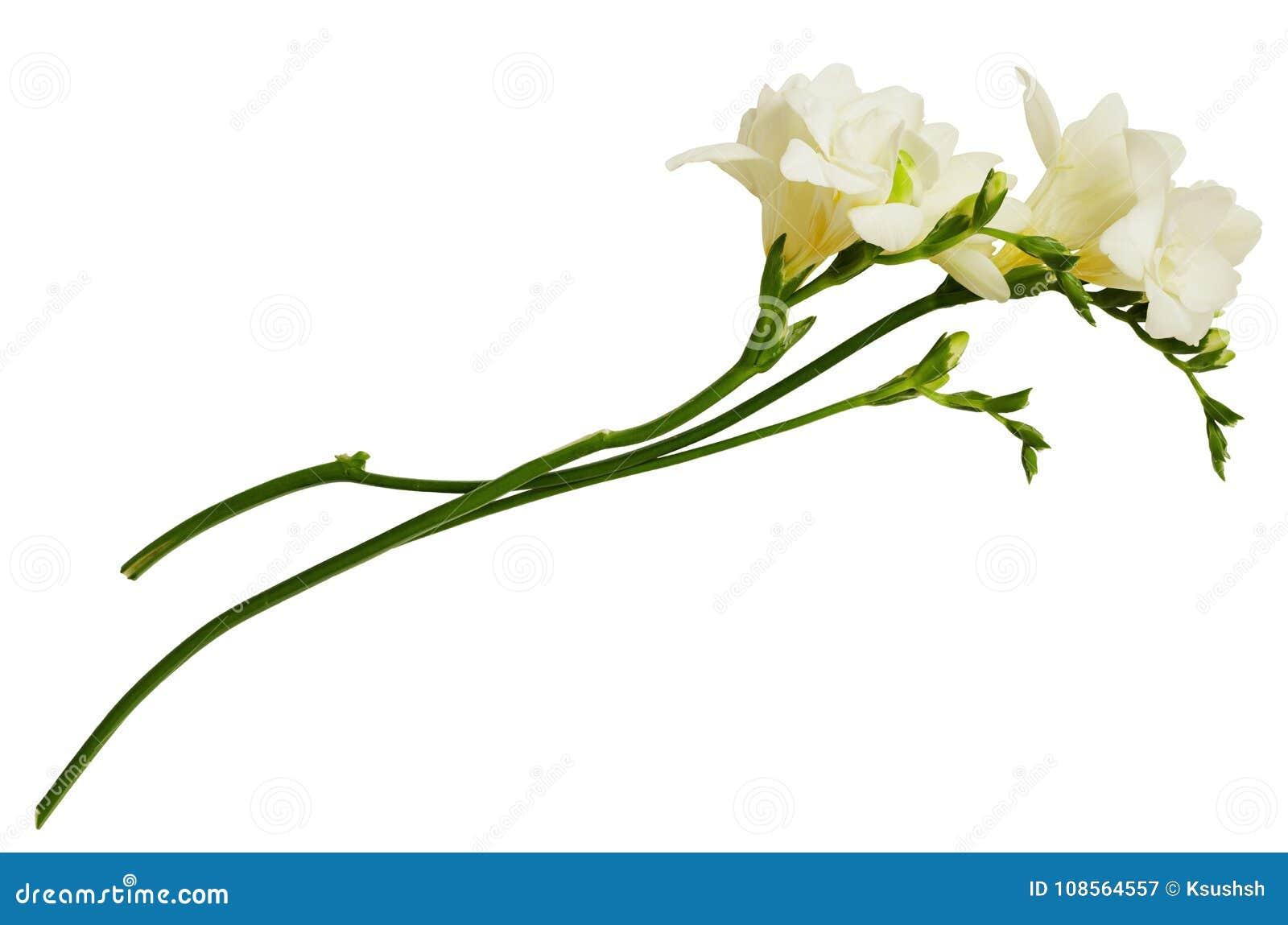 White Freesia Flowers Stock Image Image Of Fresh Twig 108564557