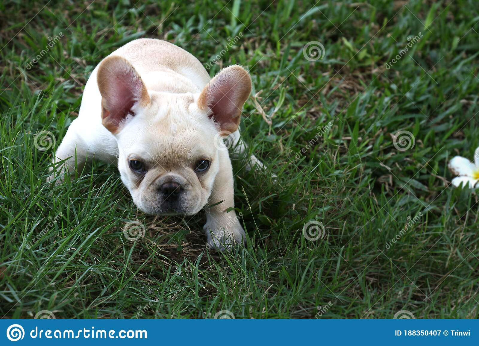 White French Bulldog Puppy Have Funny Stock Image Image Of Bulldog Dogsquat 188350407