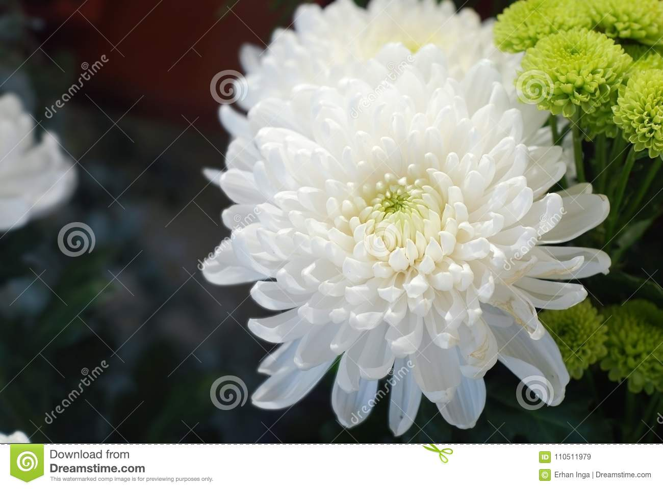 White Fresh Flowers Crisanthemum Close Up With Copy Space For Text