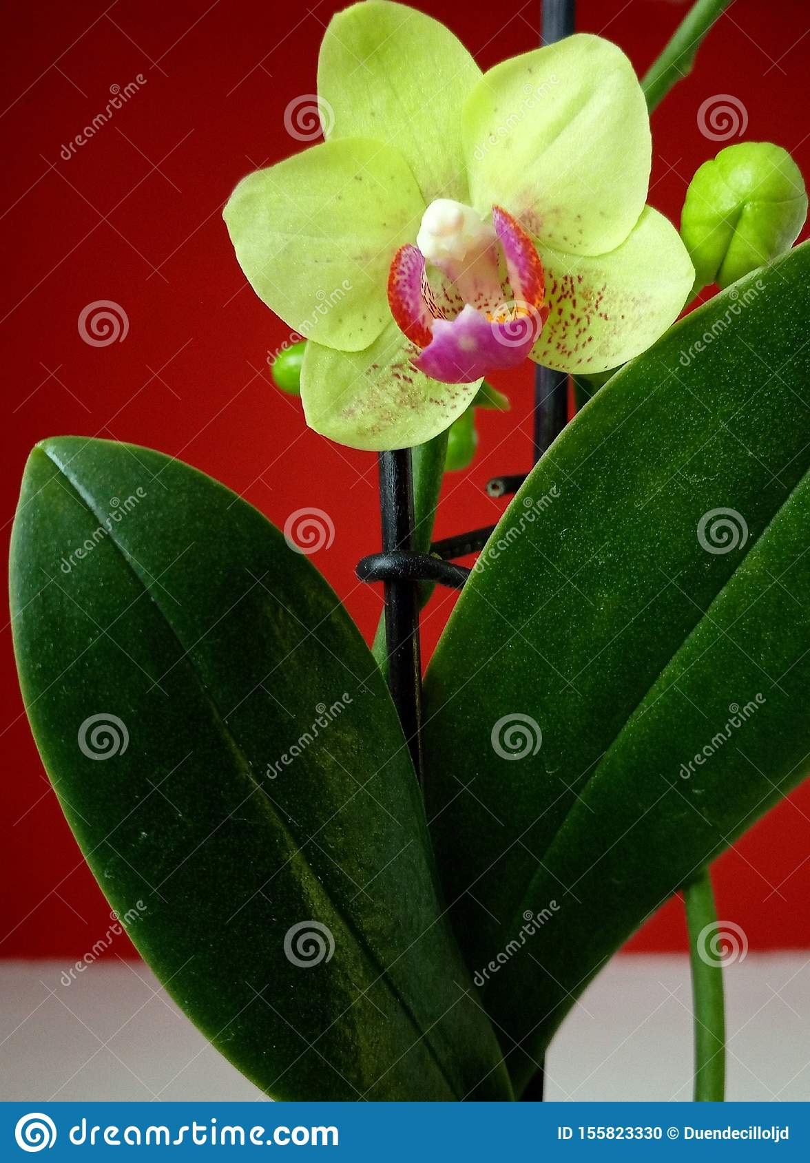 White and fuchsia orchid with a red background