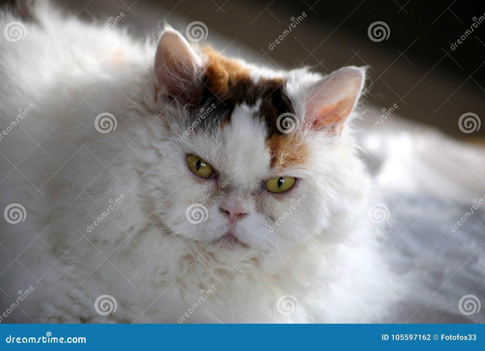 Sweet Selkirk Rex Cat Lying On Blanket Looking At Camera