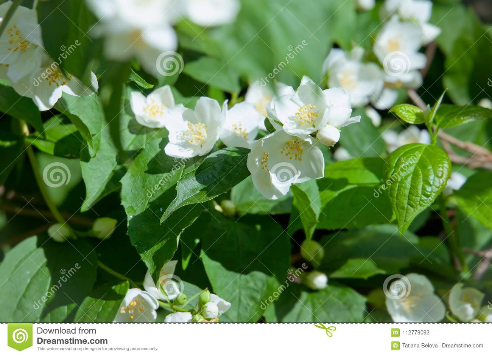 White Garden Flowers Of Jasmine In Sunny Summer Day Stock Photo