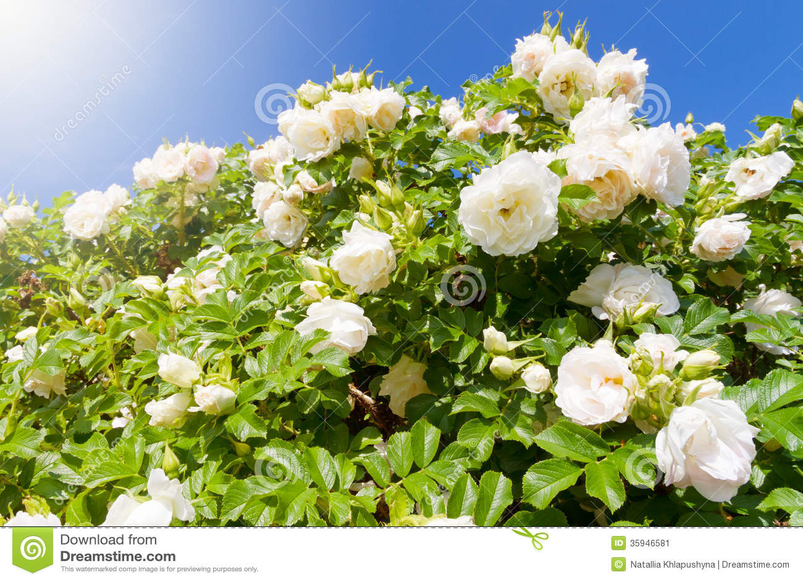 Bush Garden White ...
