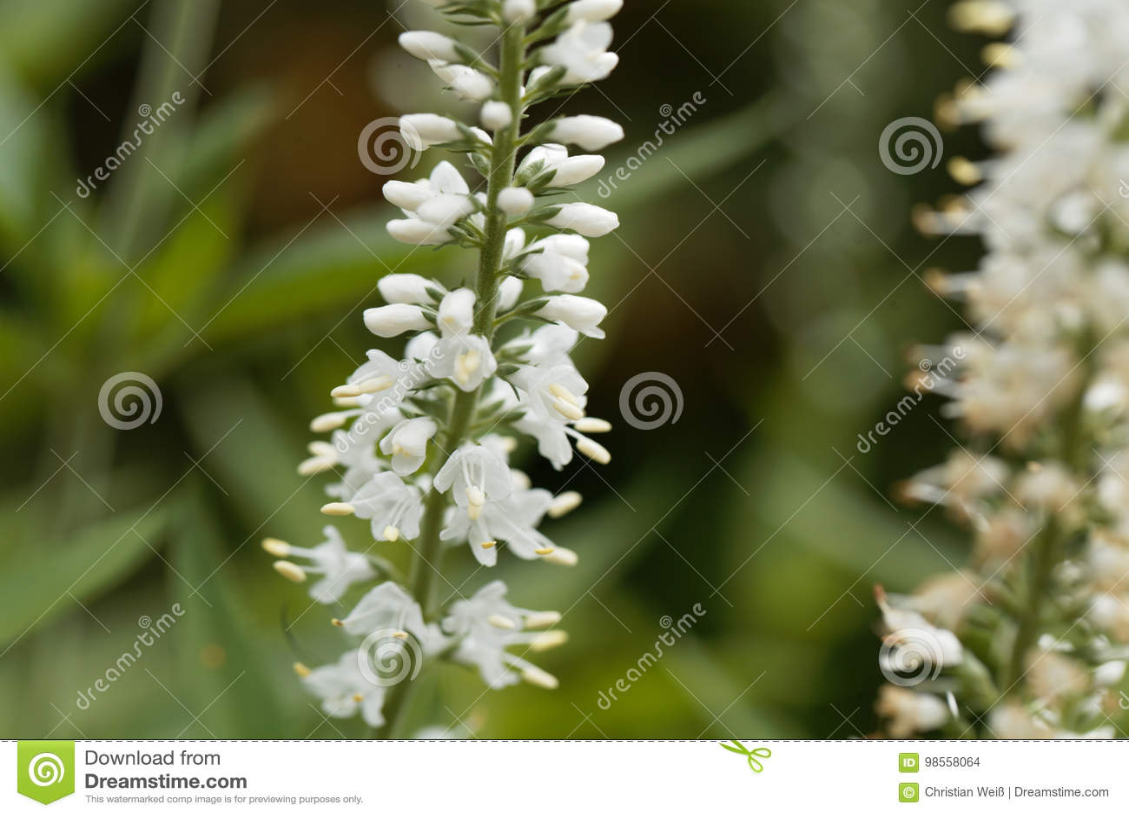 Вероника вайт цветы