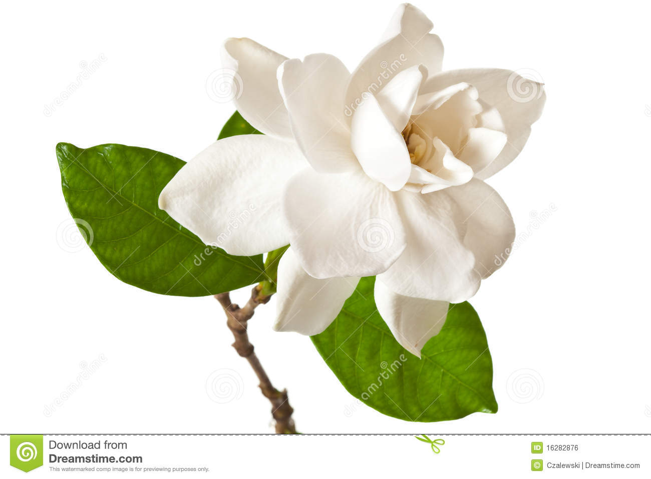 White Gardenia Blossom Isolated On White Stock Photo ...