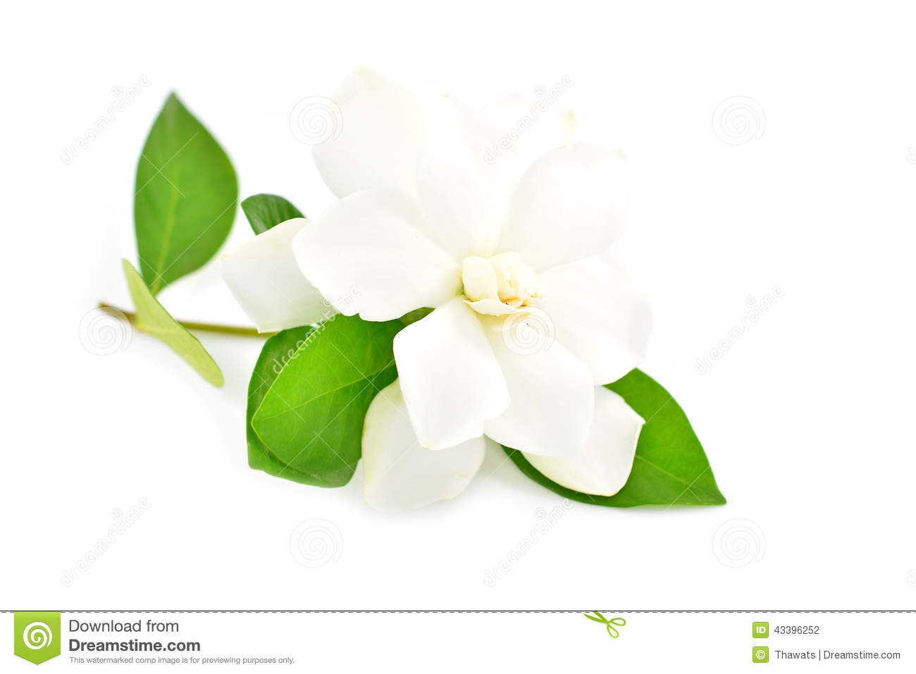white gardenia flower blossom stock photo  image, Natural flower