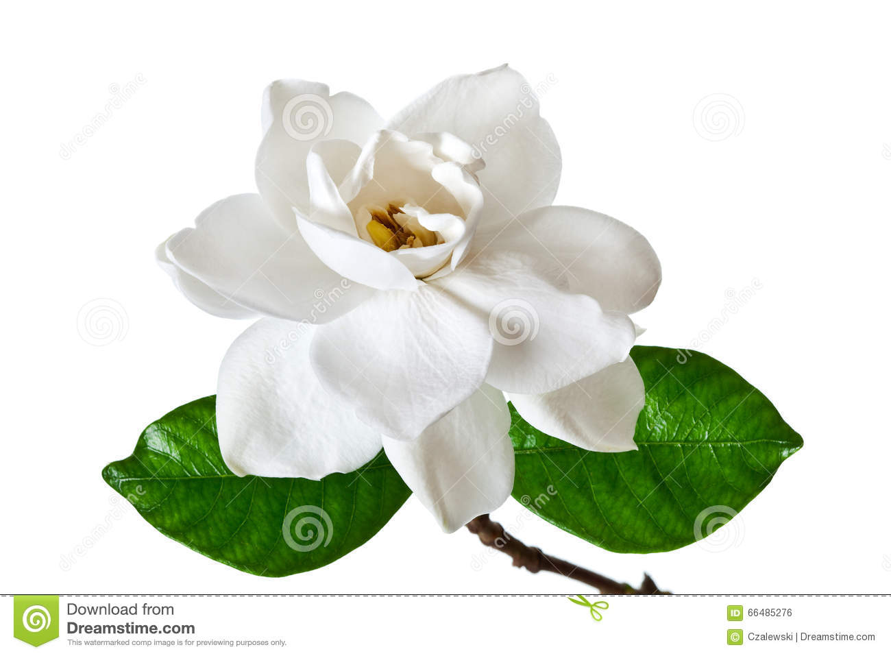 White gardenia flower blossom stock photo image of flowers white gardenia flower blossom mightylinksfo