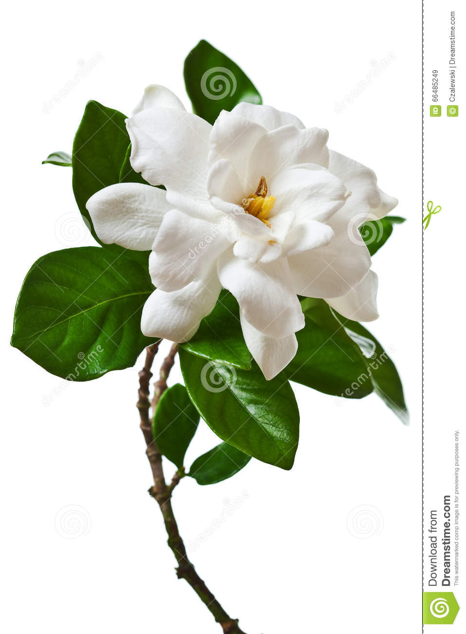 white gardenia flower isolated branch stock photo  image, Natural flower