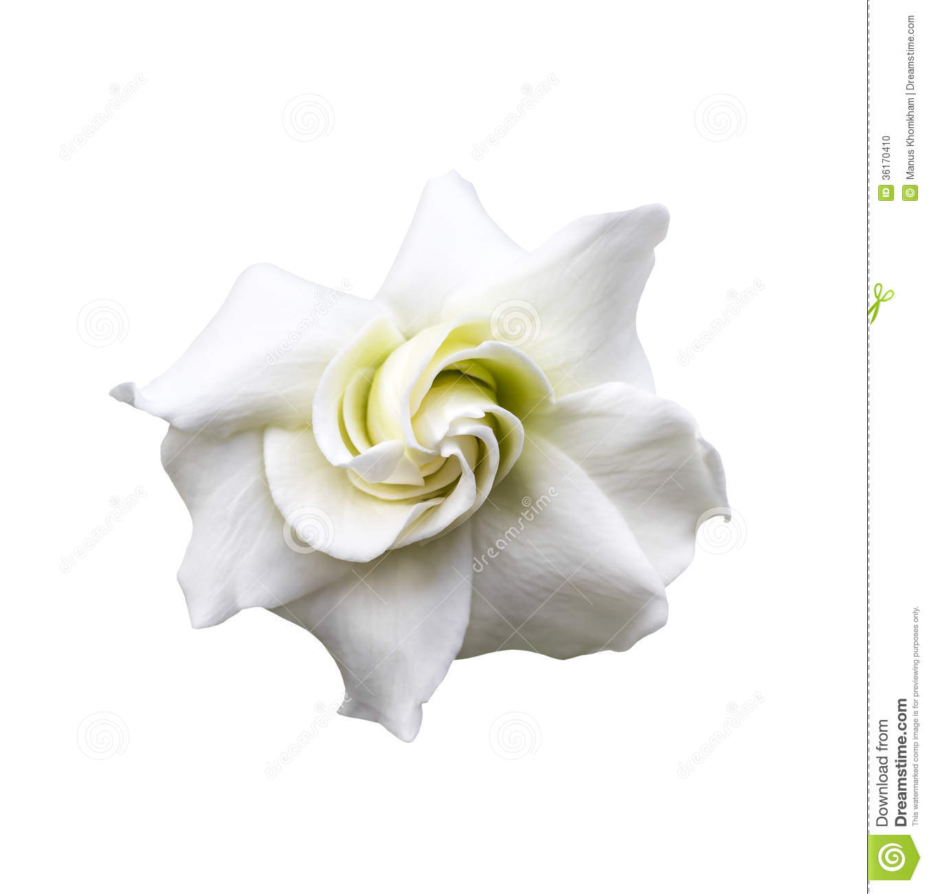 golden gardenia flowers royalty free stock photography  image, Natural flower