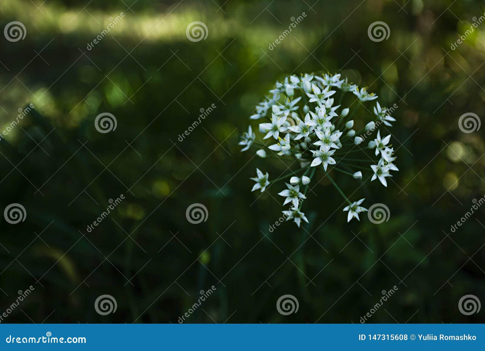 White garlic flowering heads of garlic, known as garlic, Chinese onion, oriental garlic, Chinese leek, blooming in autumn