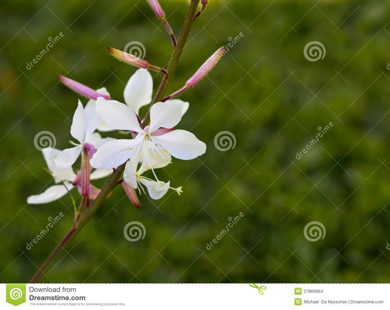 White Gaura Flower With Green Background Stock Photo Image Of