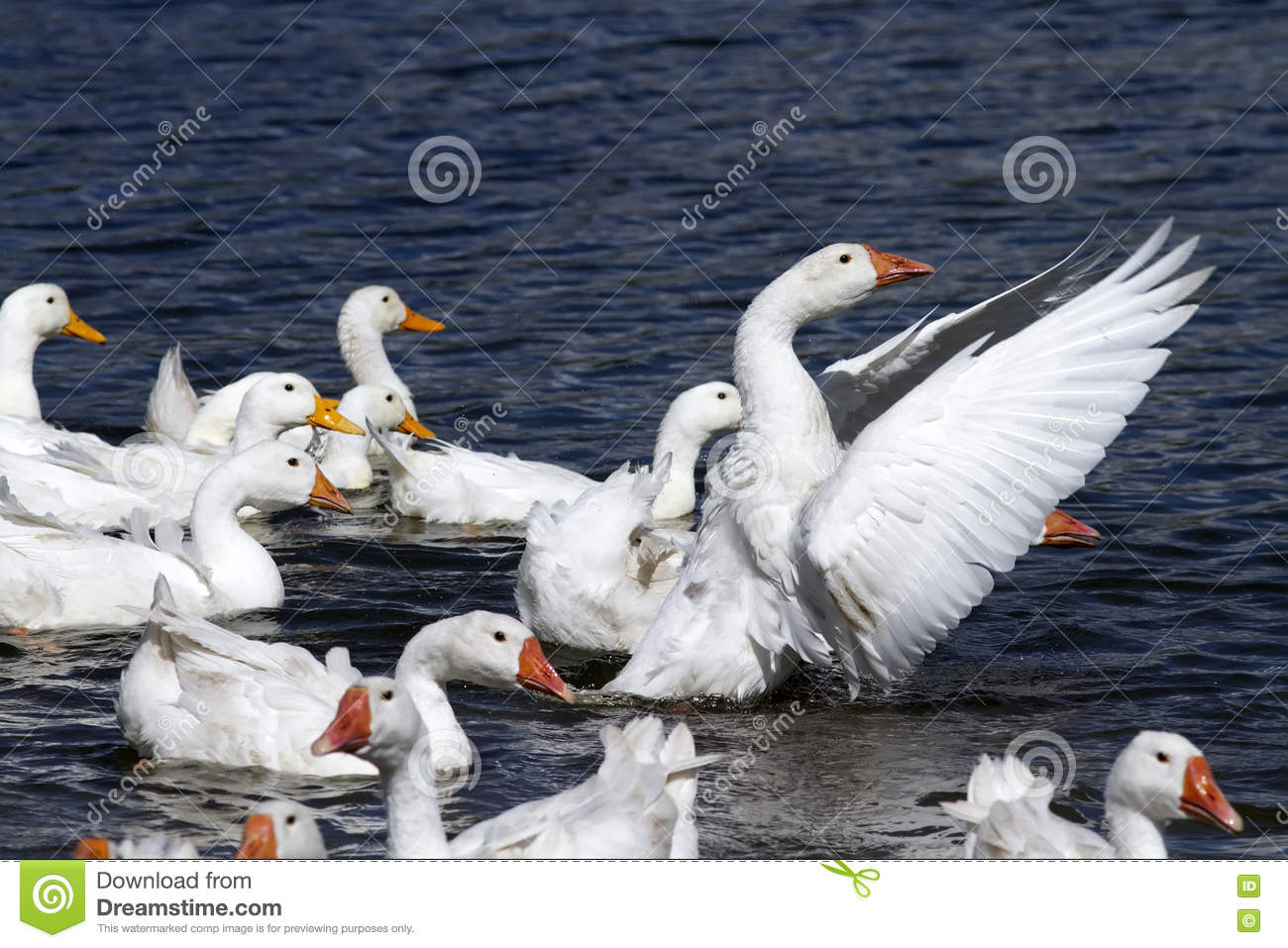 White geese and ducks swim and dive in the pond