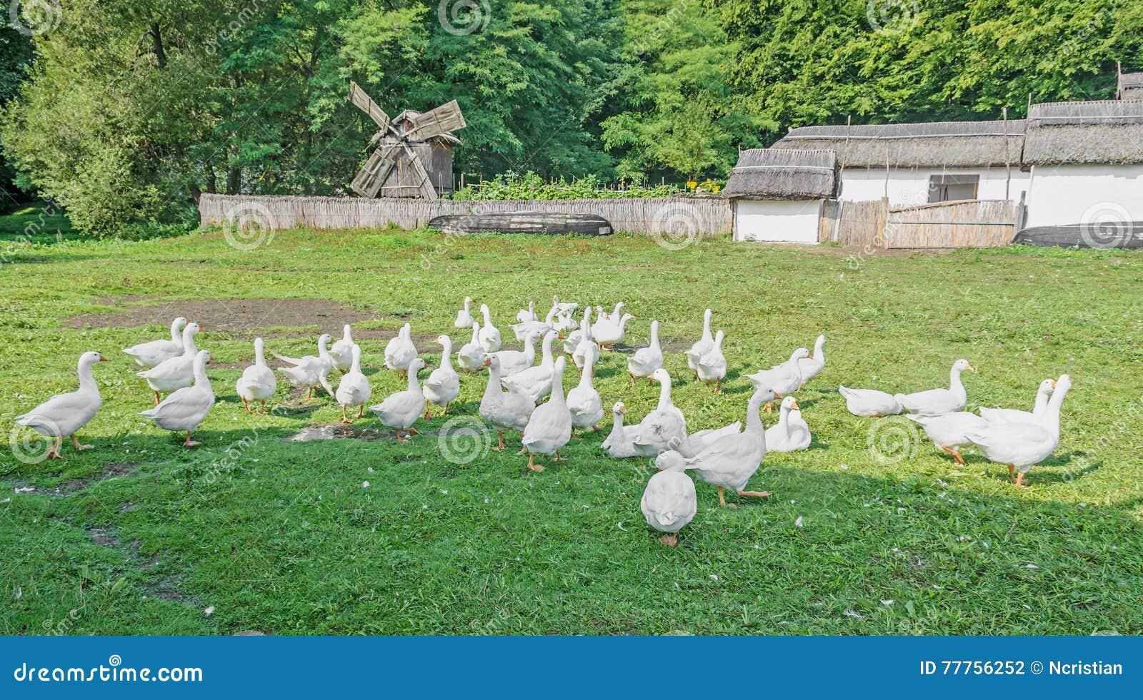 White geese with orange beak on green grass, close up