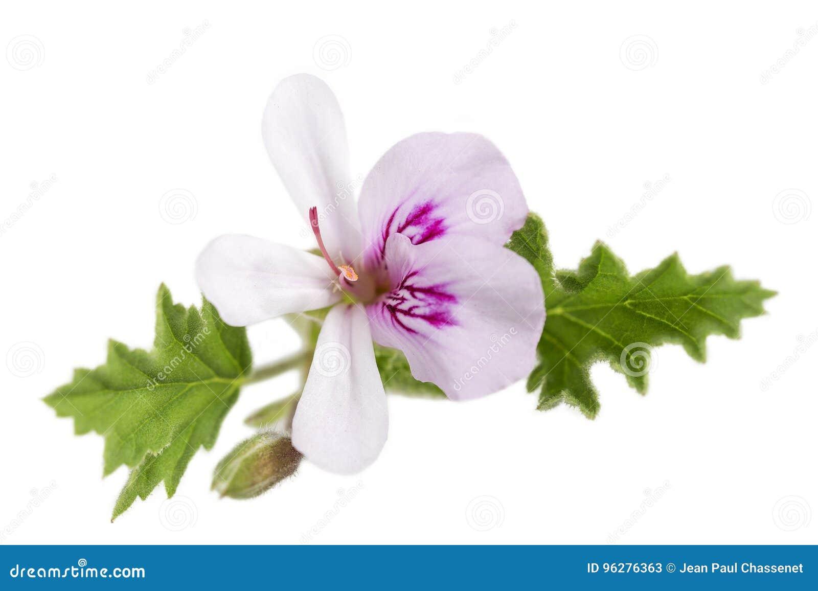White Geranium Pelargonium graveolens on white