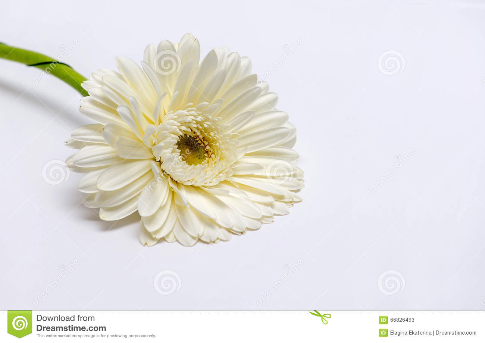 White Gerbera Flower Stock Image Image Of Petal Fresh 66826493