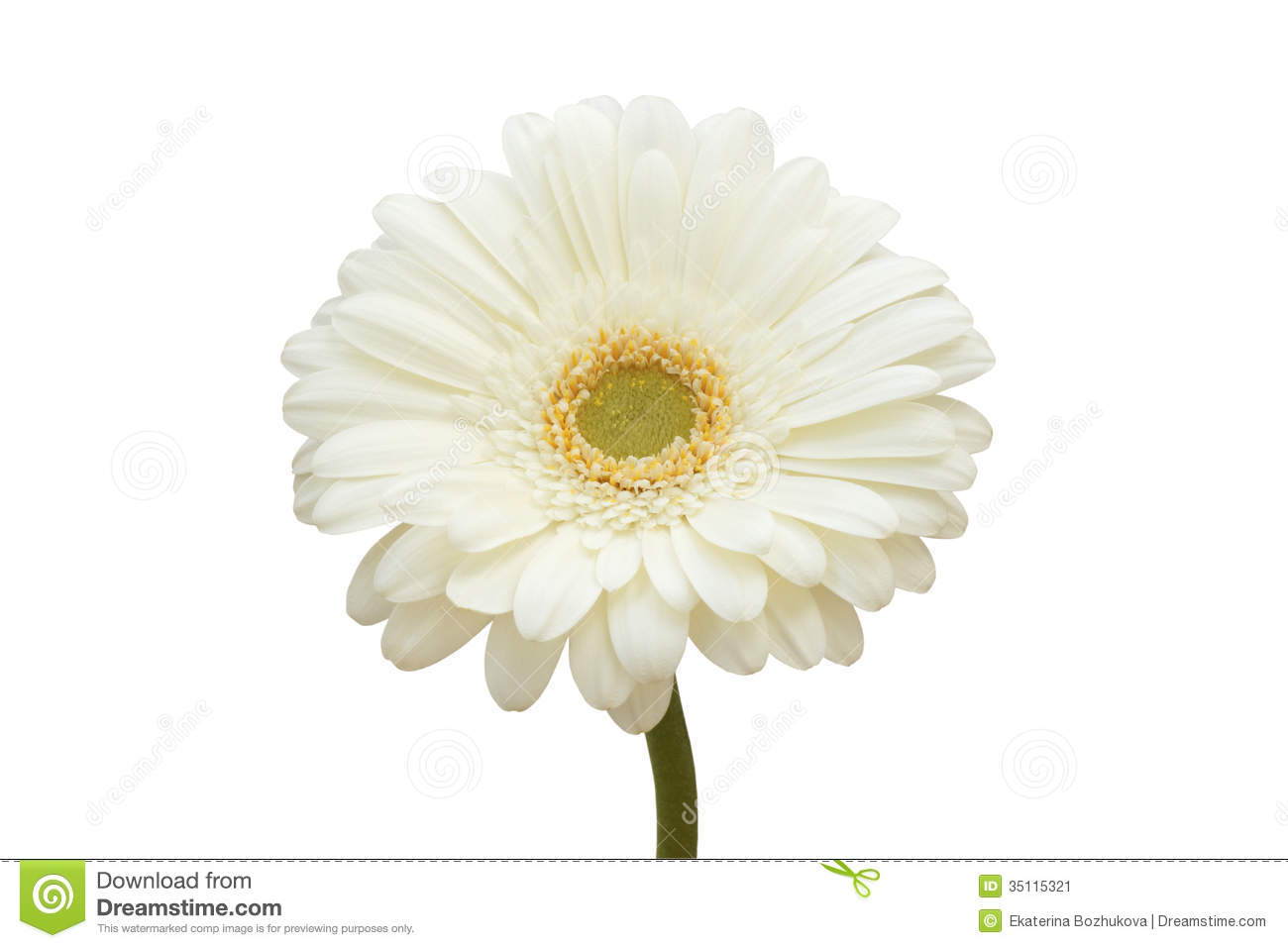 White gerbera flower stock image image of close flowers 35115321 download white gerbera flower stock image image of close flowers 35115321 mightylinksfo