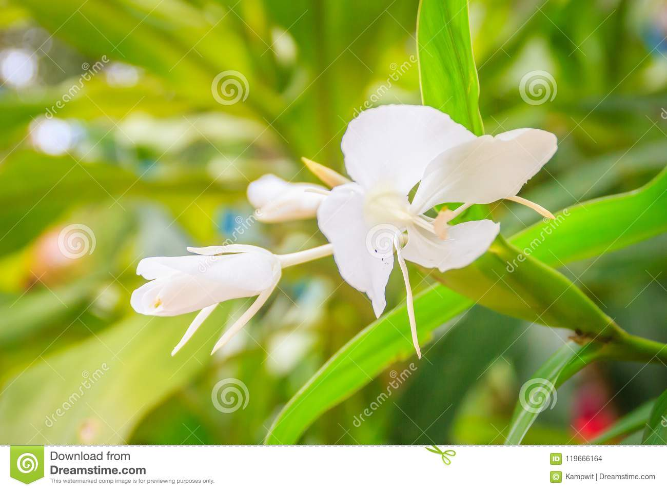 White Ginger Flower Hedychium Coronarium With Green Leaves