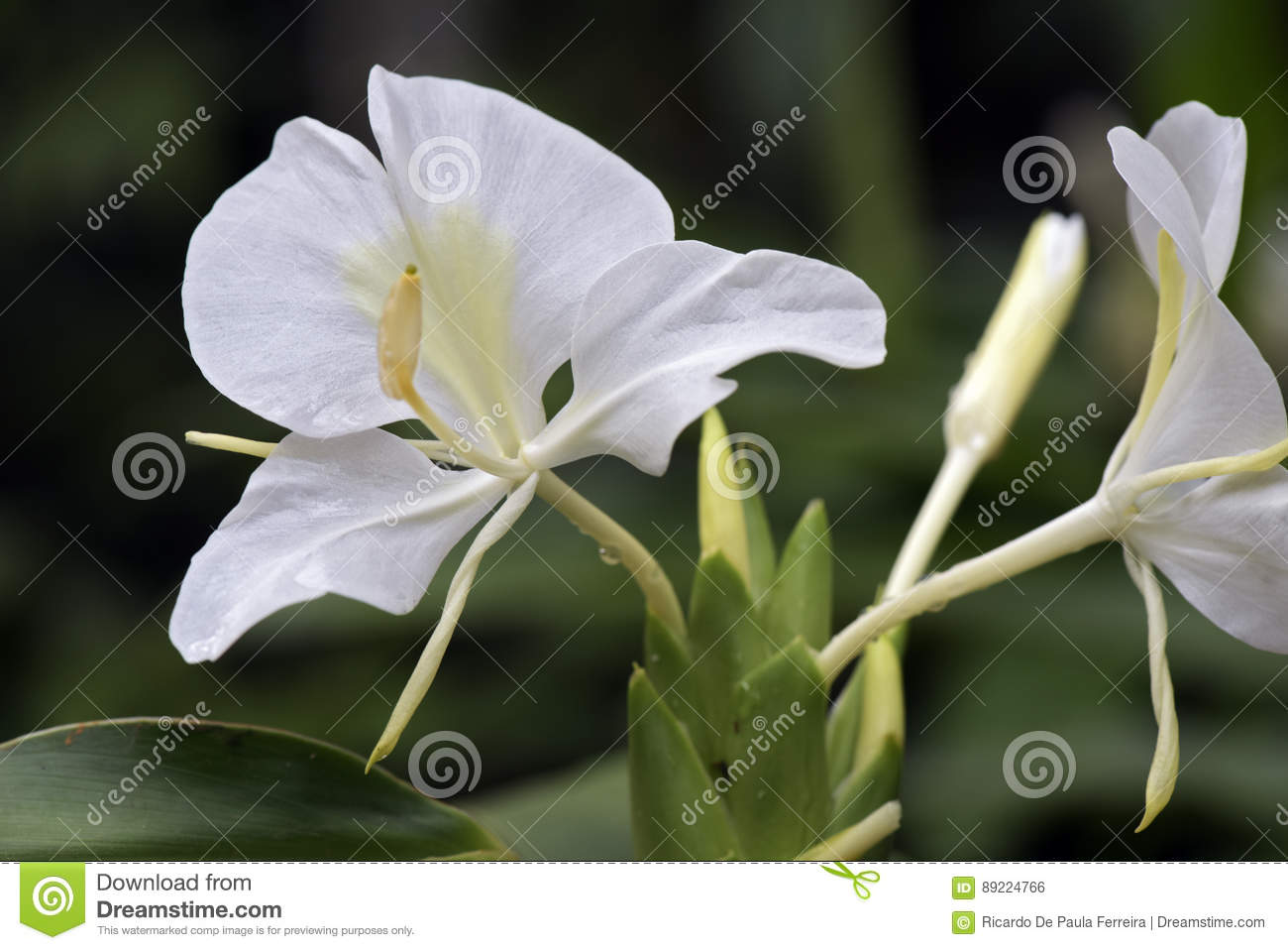 White Ginger Lily In Bloom On Dark Garden Background Stock Photo