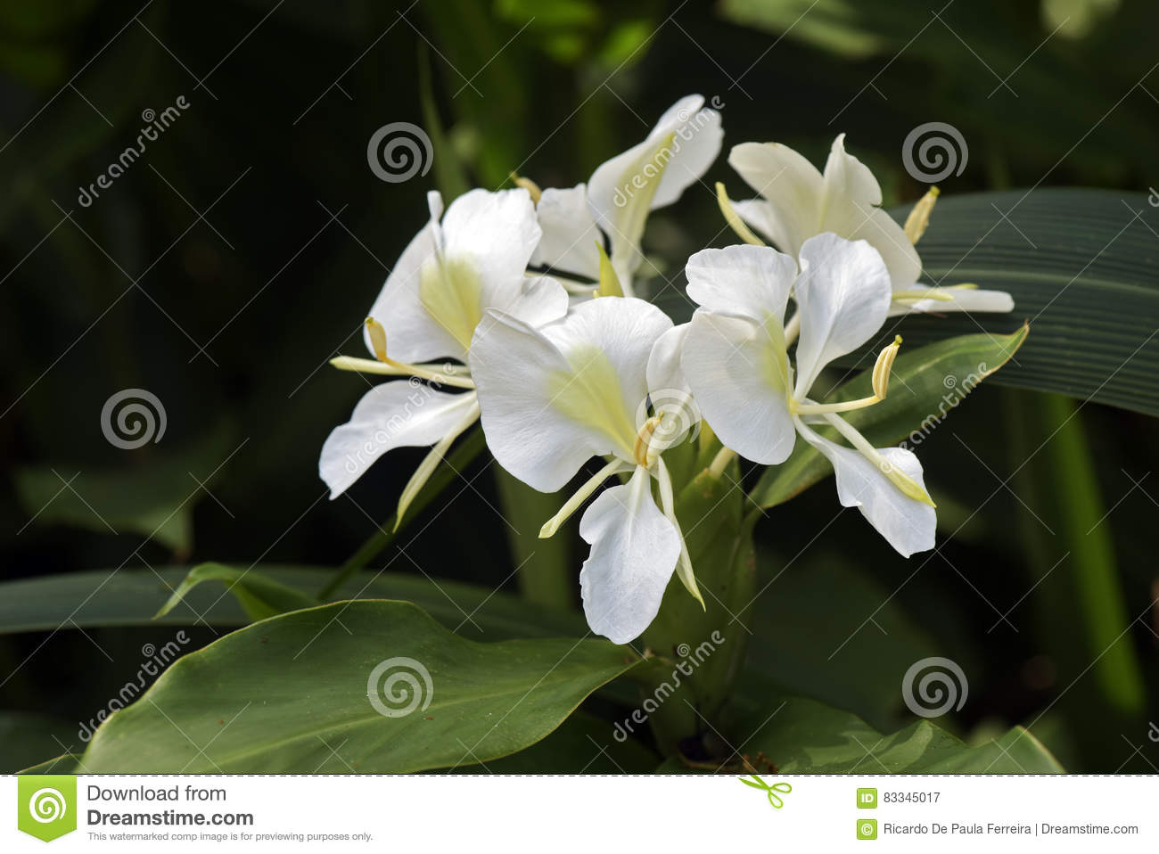 White Ginger Lily On Dark Forest Background Stock Image Image Of