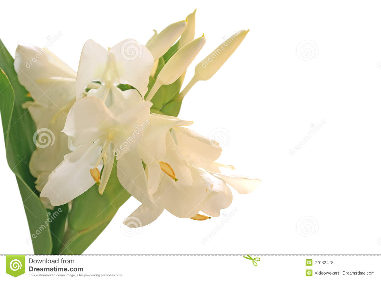 White Ginger Lily Flower Stock Photo Image Of Blossom 27082478