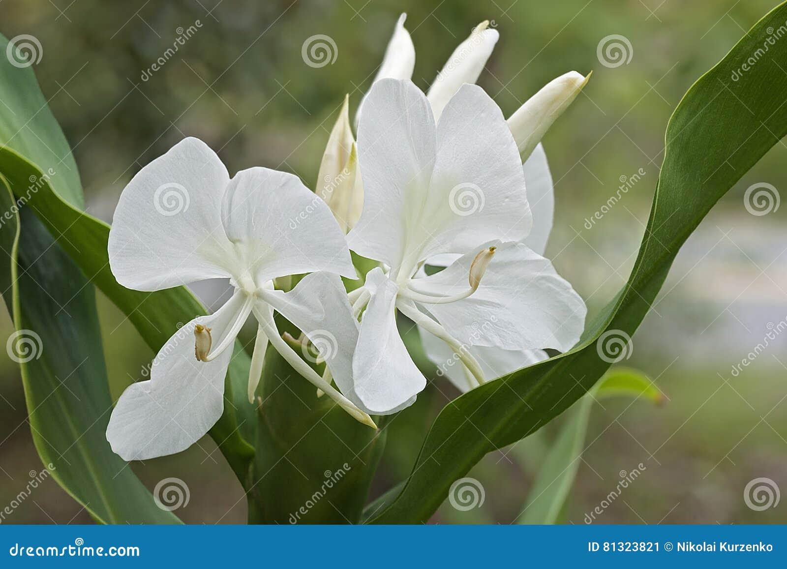 White Ginger Lily Flowers Stock Image Image Of Horizontal 81323821