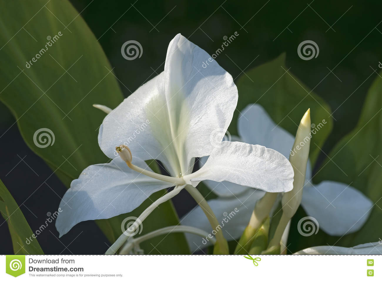 White Ginger Lily Flowers Stock Image Image Of Wildflower 81323825