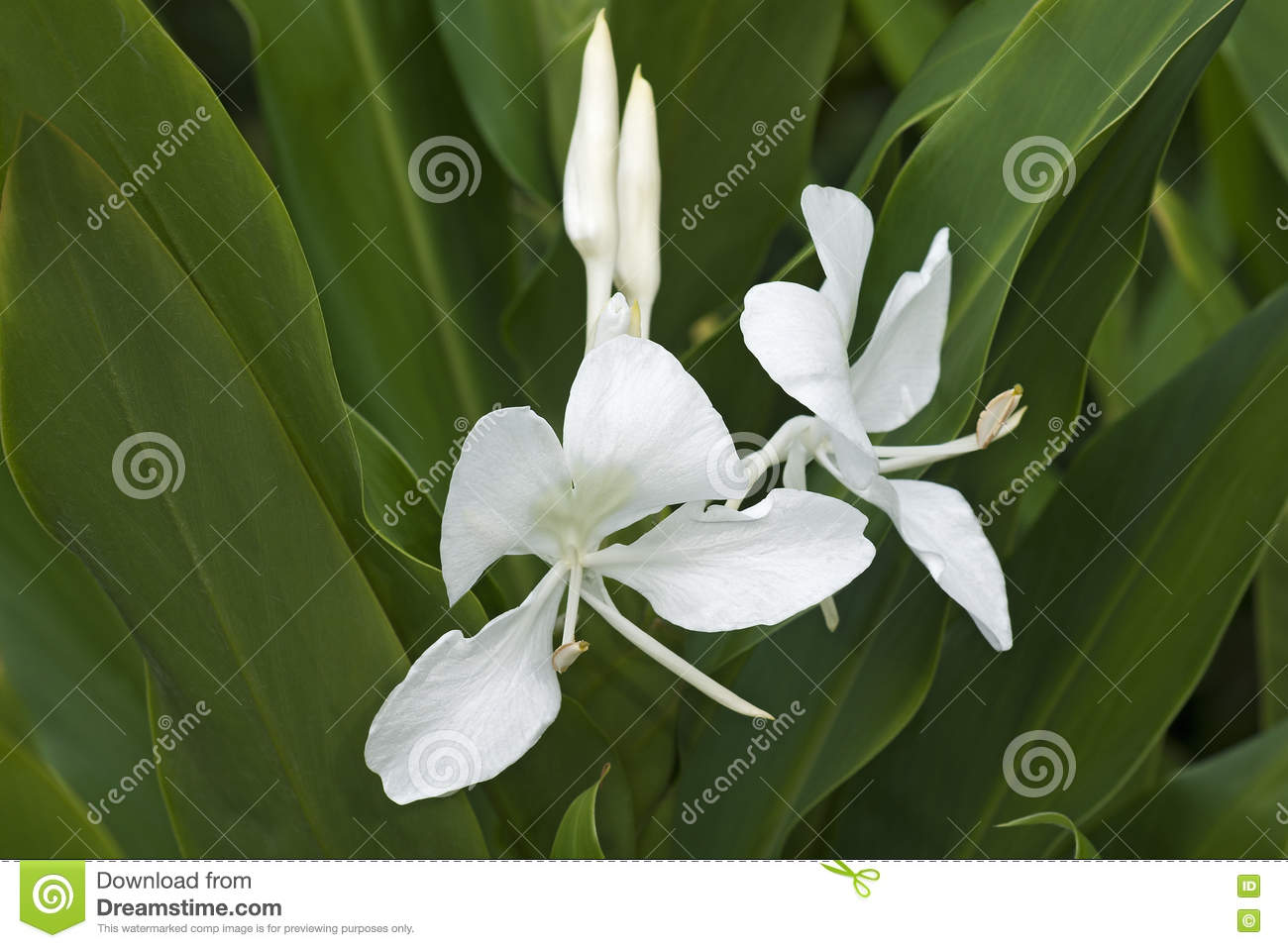 White ginger lily flowers stock image image of flora 81324029 download white ginger lily flowers stock image image of flora 81324029 mightylinksfo