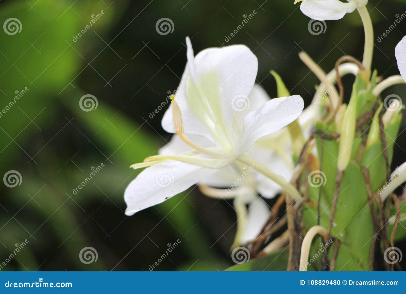 White Ginger Lily Flowers Of Matagalpa Nicaragua Stock Photo
