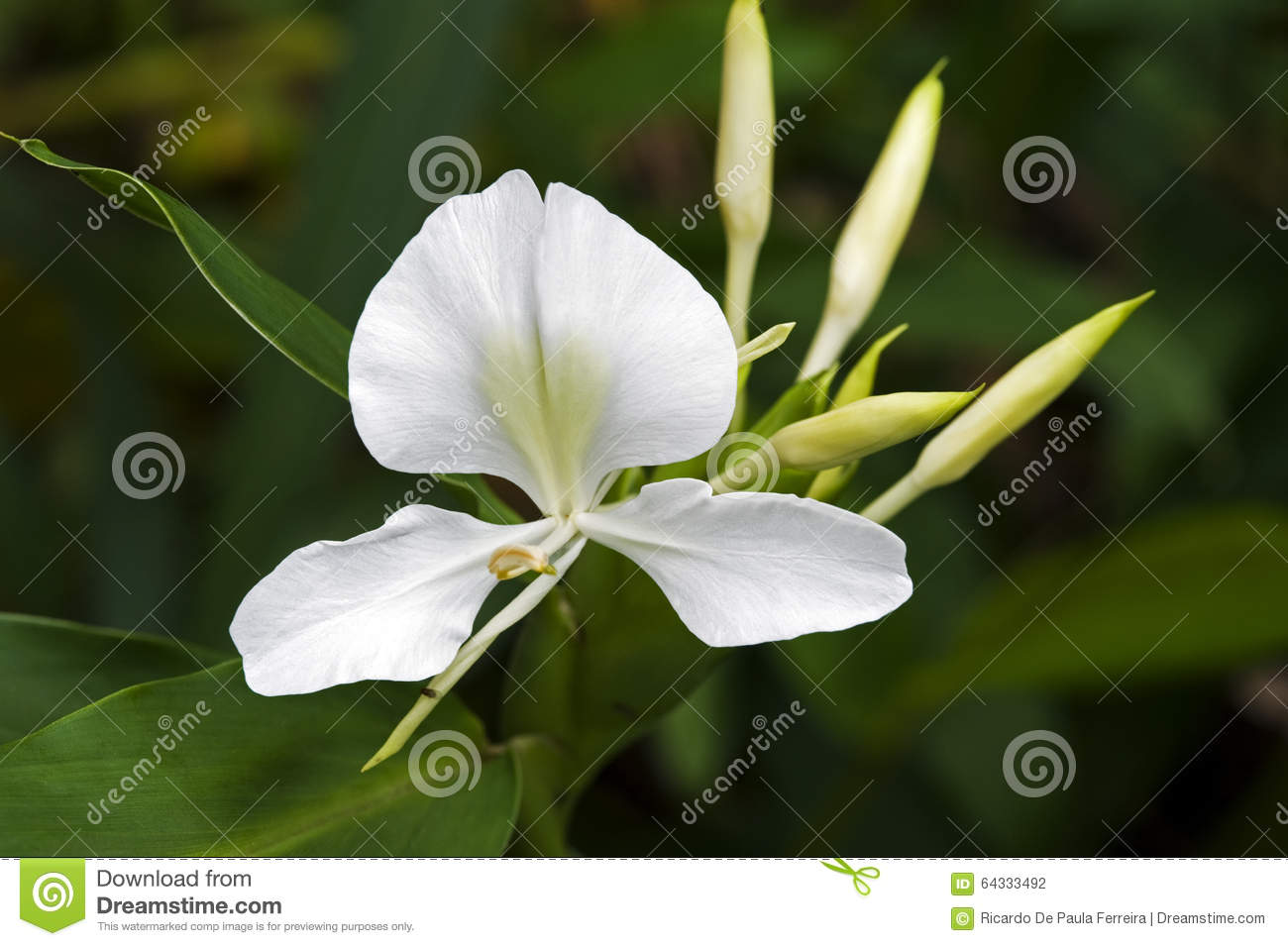 White Ginger Lily An Intense Perfume Flower Stock Photo Image Of