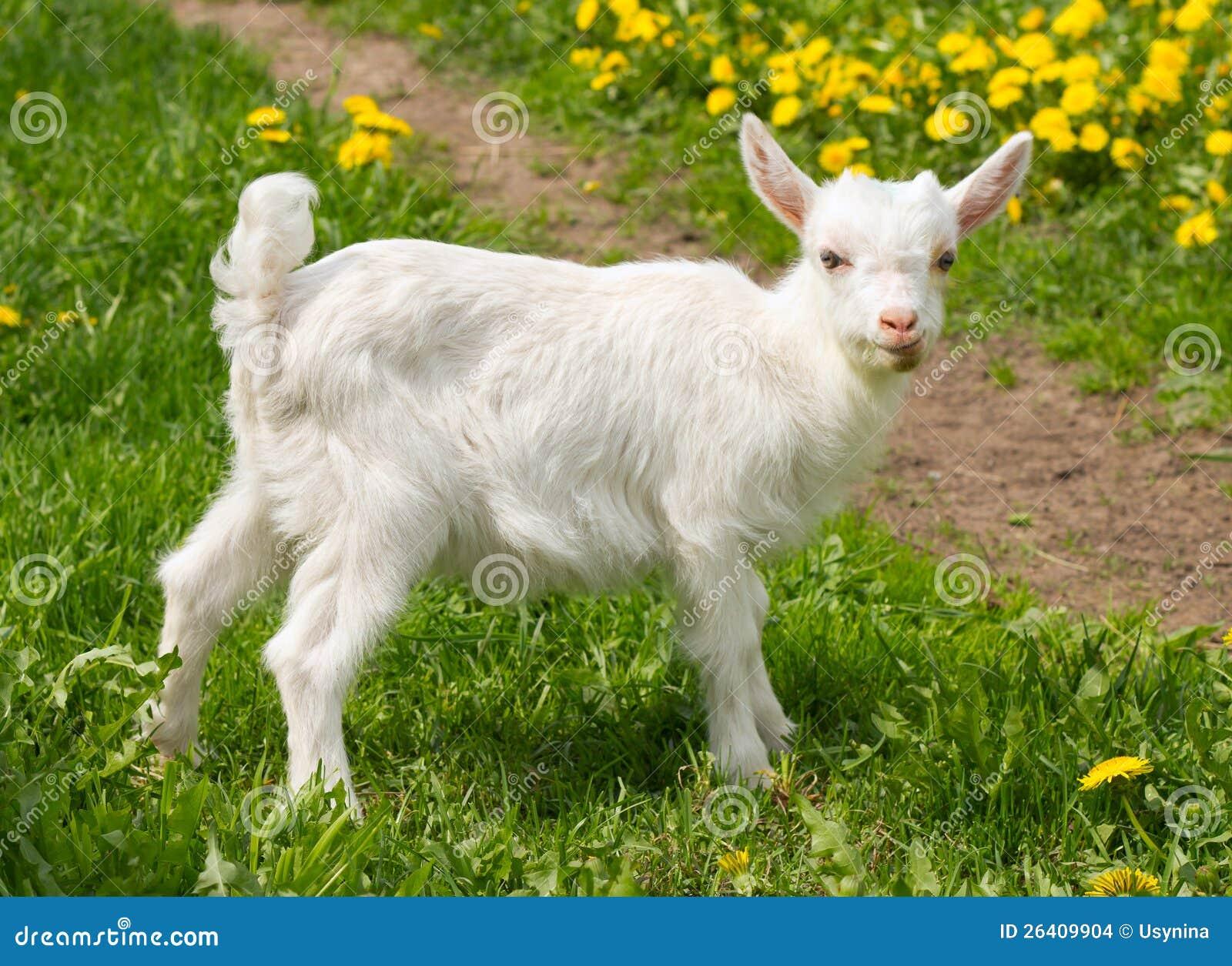 white goat machine
