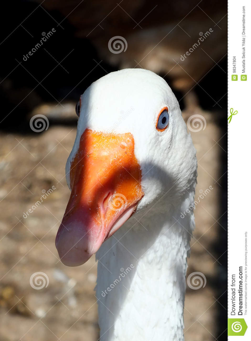 A white goose in the farm, in the nature