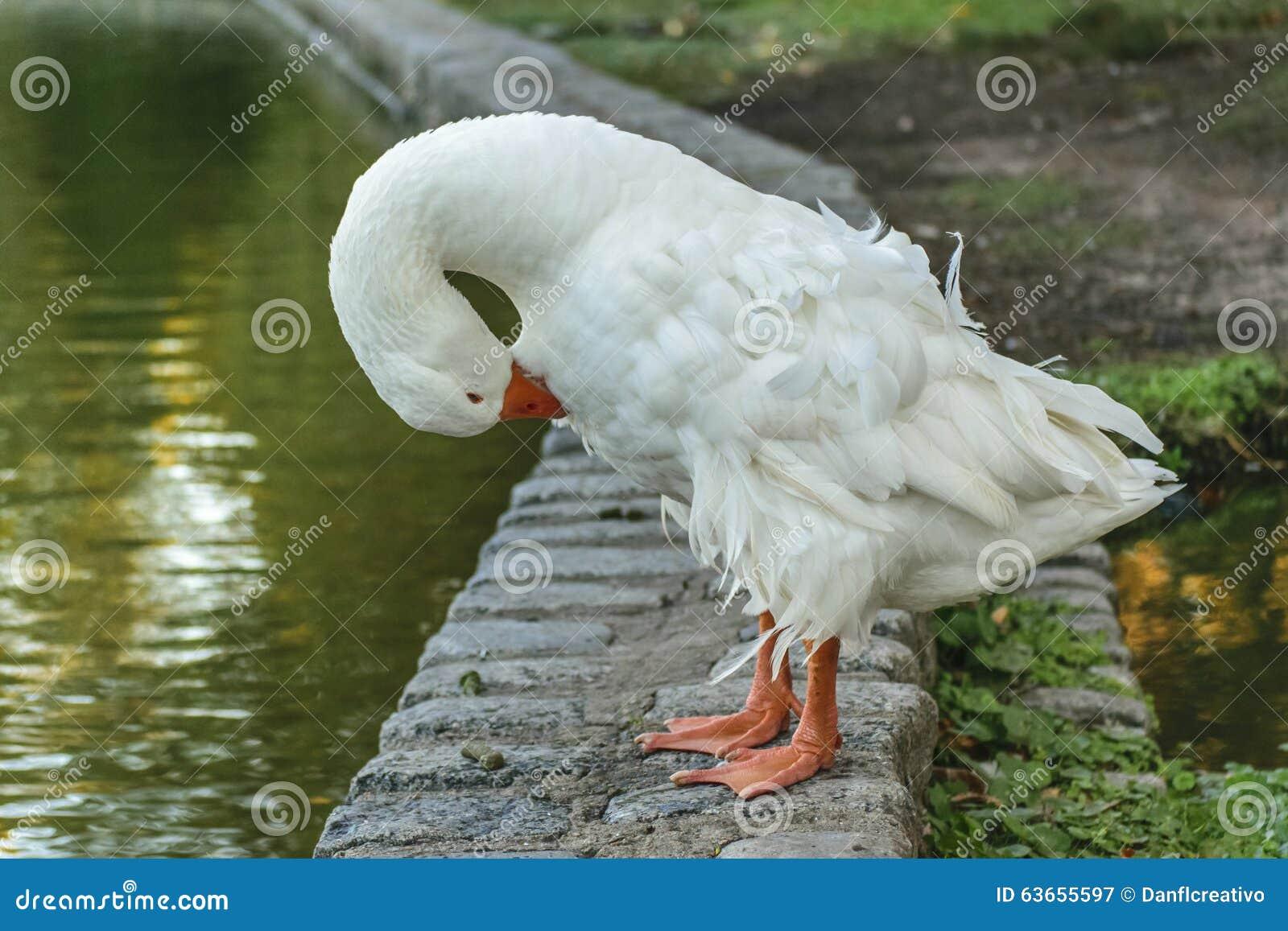 White Goose Wiping Stock Photo