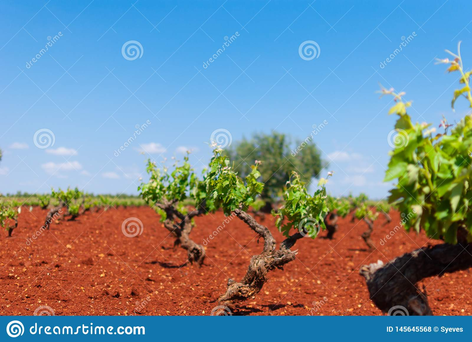 White grape vineyard area under the sun