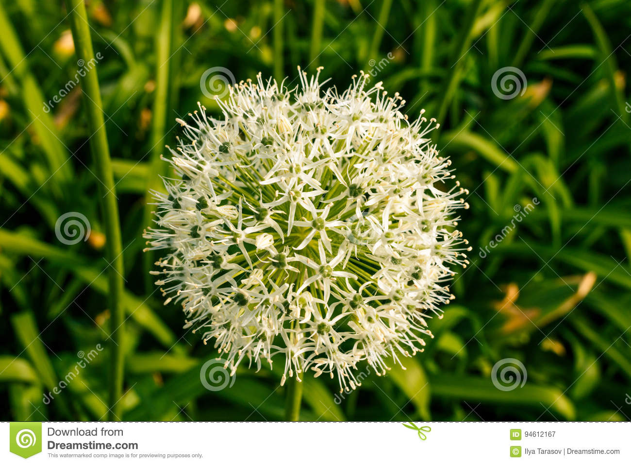 White Green Ball Of A Decorative Flower Stock Image Image Of
