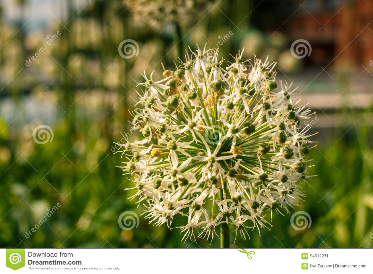 White green ball of a decorative flower stock image image of white green ball of a decorative flower a flower in the shape of a sphere on a green background beautiful white allium circular globe shaped flowers blow mightylinksfo