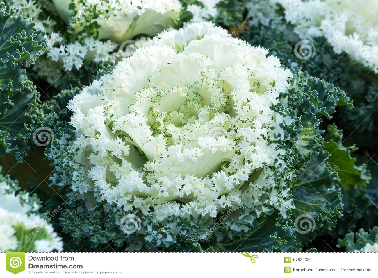 White And Green Of Ornamental Cabbage Stock Photo Image Of Plant