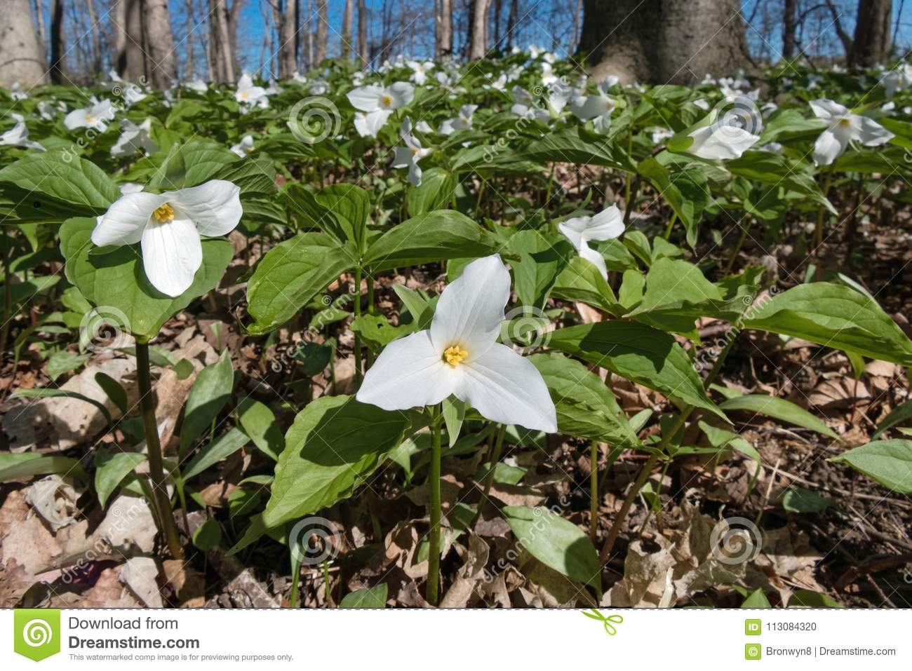 White And Green Trillium Flowers Stock Photo Image Of Leaf