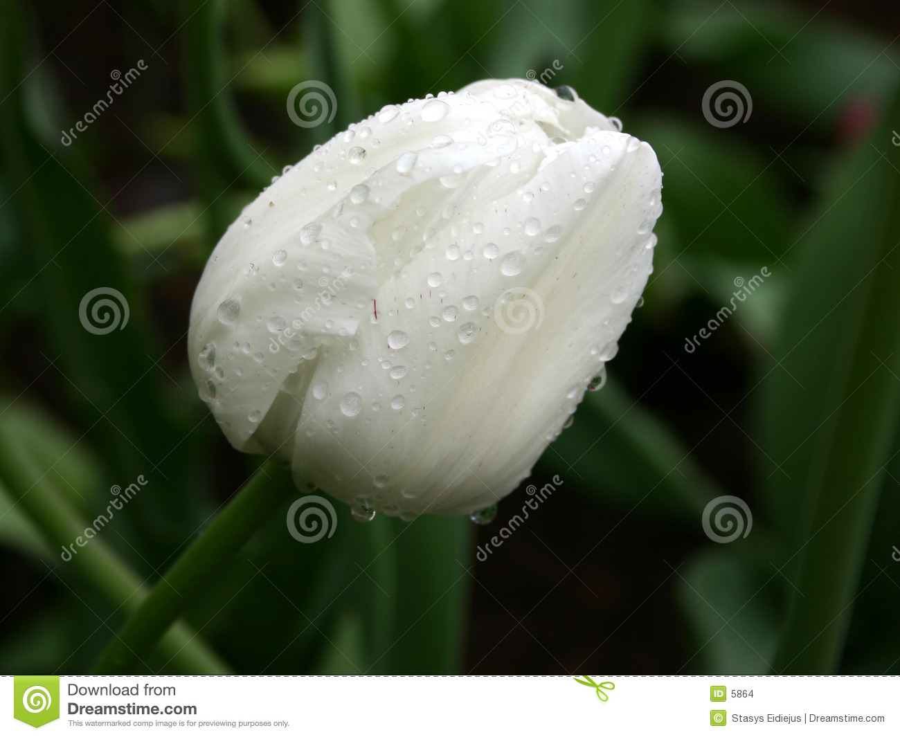 White on green. Tulip in the rain
