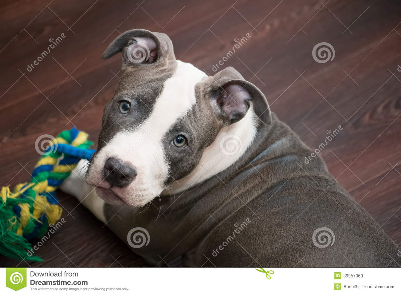 White And Grey Pitbull Laying Down With Toy Stock Photo ...