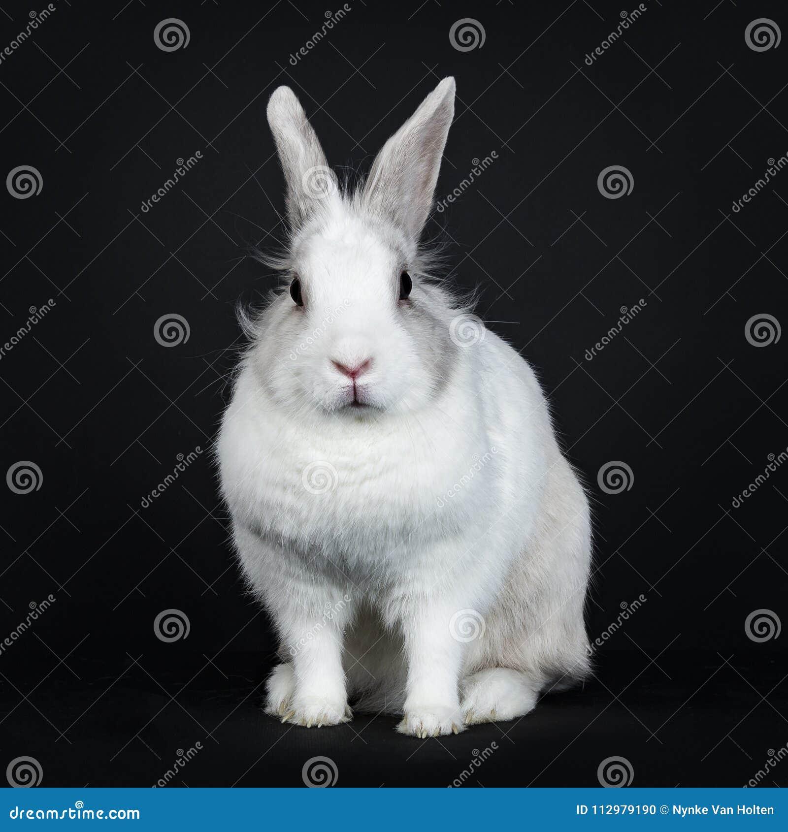 White with grey rabbit on black background