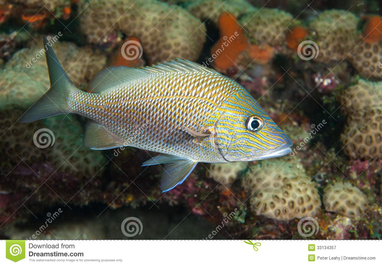 White grunt fish on a reef royalty free stock photography for White fish types