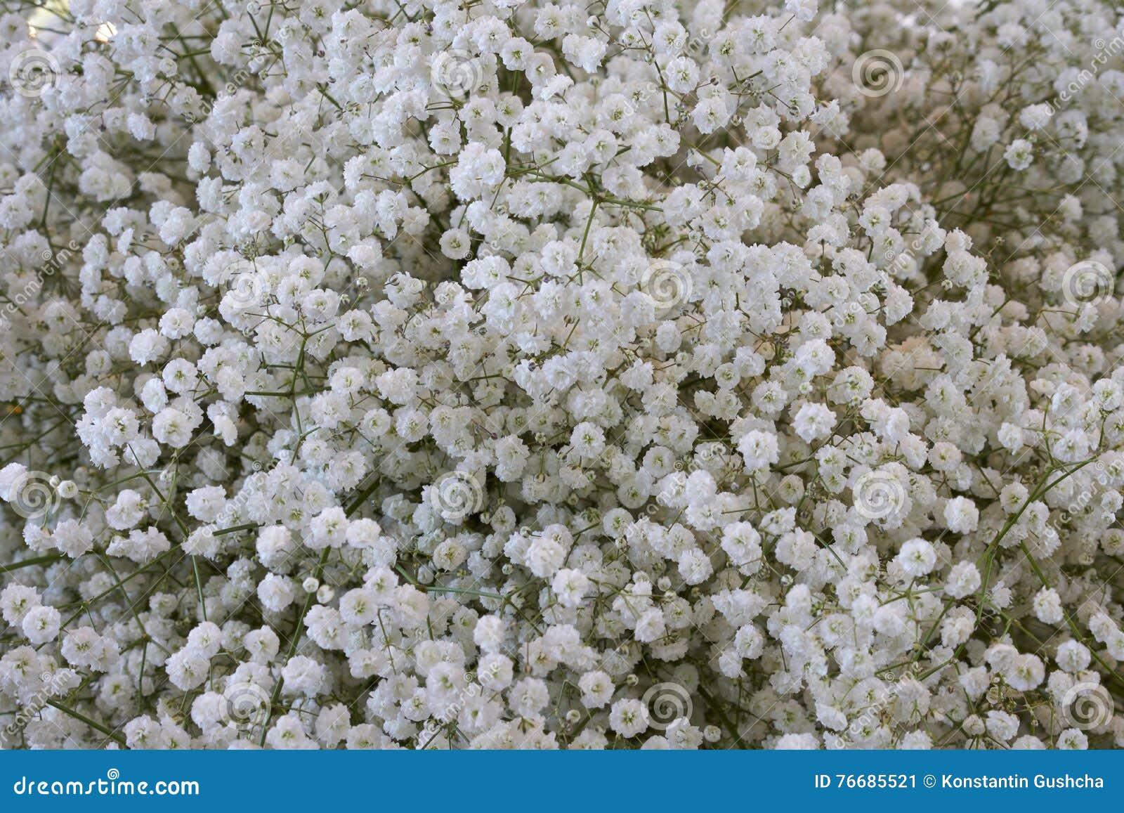 White Gypsophila Flowers Stock Image Image Of Bunch 76685521