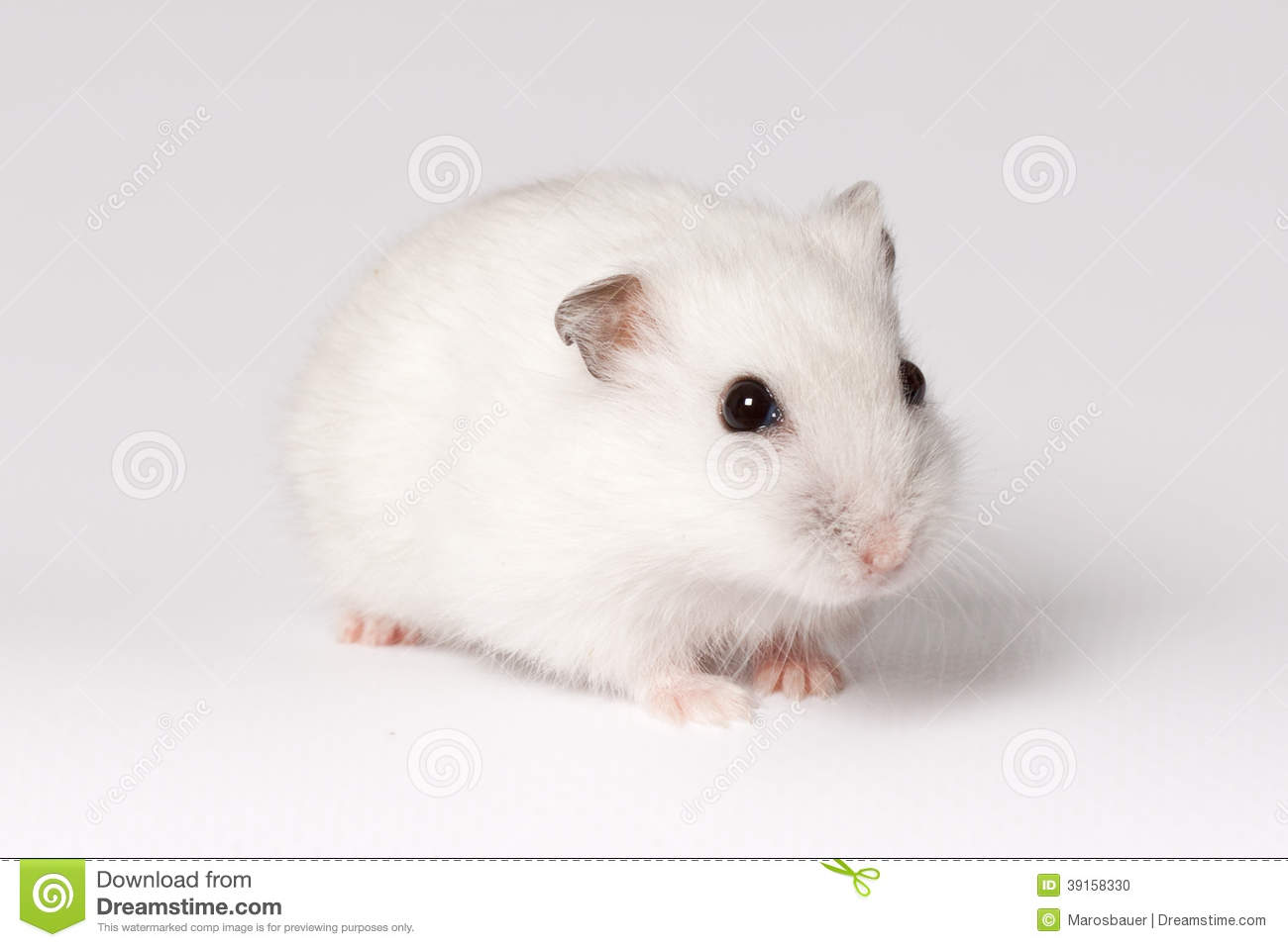 white dwarf hamster with red eyes - photo #42